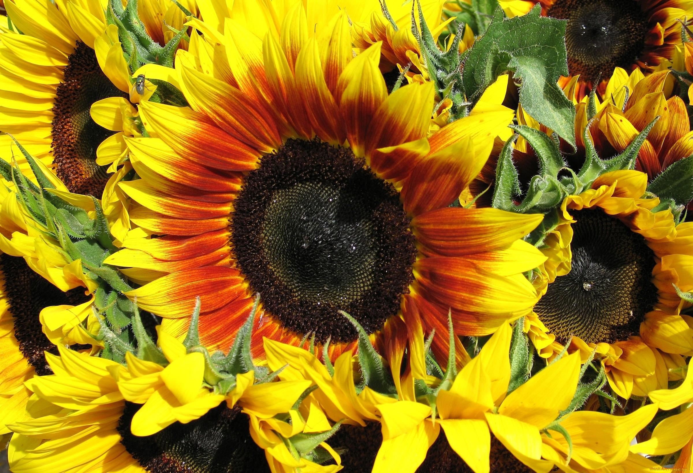 цветы похожие на подсолнухи фото этого